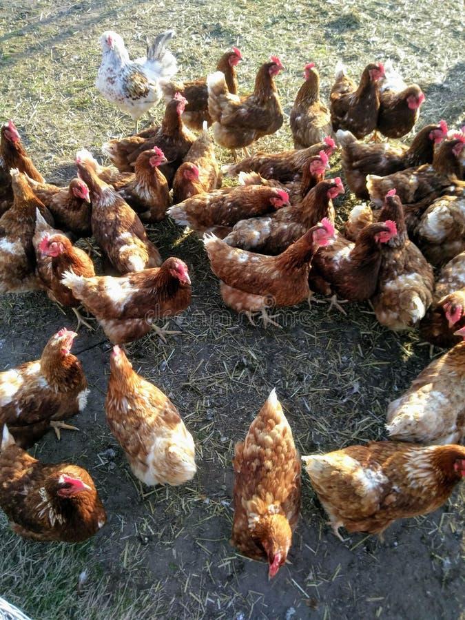 Groep bruine kippen royalty-vrije stock afbeeldingen