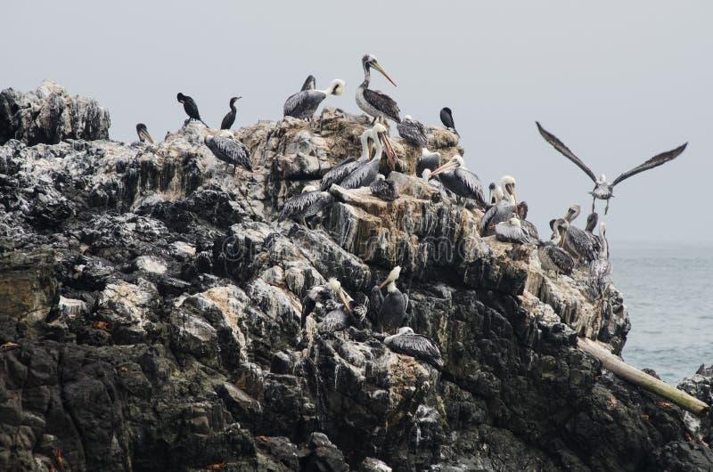 Groep bruine pelikanen -- Pelecanusoccidentalis -- status op een rots stock fotografie