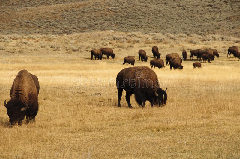 Groep Buffels in Nationaal Park Yellowstone royalty-vrije stock afbeelding
