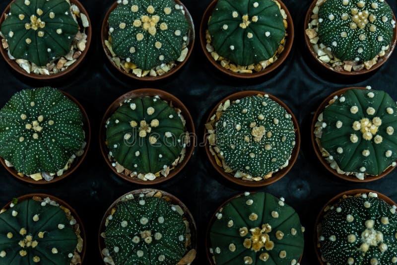 Groep Cactus in een Pot stock afbeeldingen