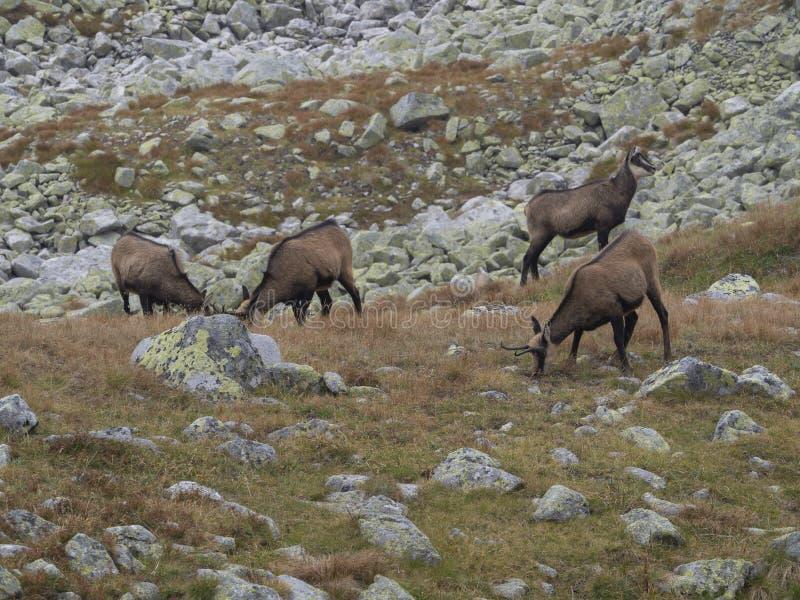 Groep chamoises die op de herfst rotsachtige weide weiden De Tatra-gemzen, Rupicapra-rupicapratatrica, Hoge tatrasberg, Slowakije stock foto's