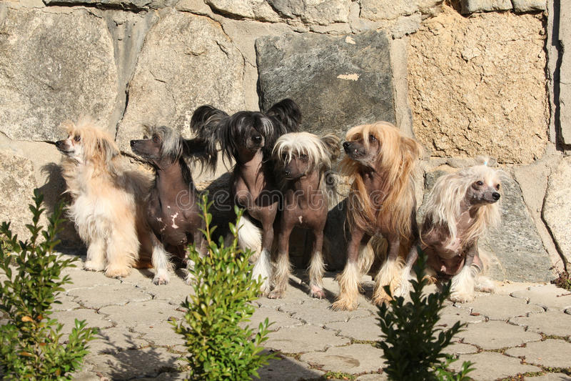 Groep Chinese Kuifhond in de tuin stock afbeelding