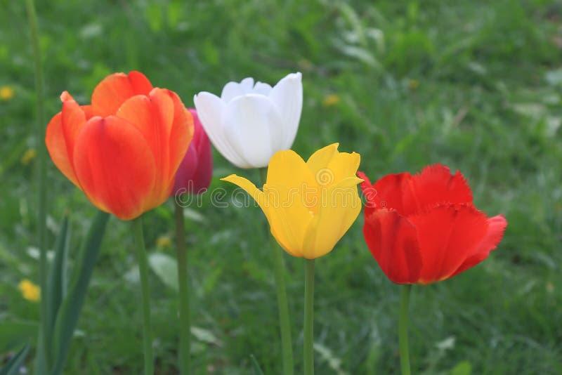 Groep de heldere tulpen van de de lente verschillende kleur op de achtergrond van groen gras royalty-vrije stock foto