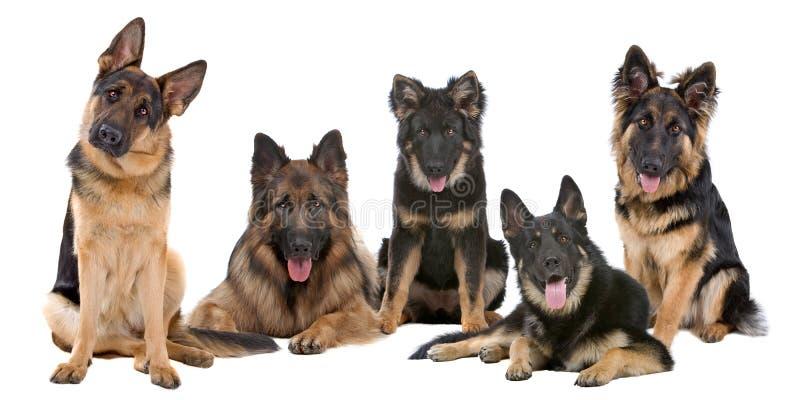 Groep de honden van de Duitse herder stock foto's