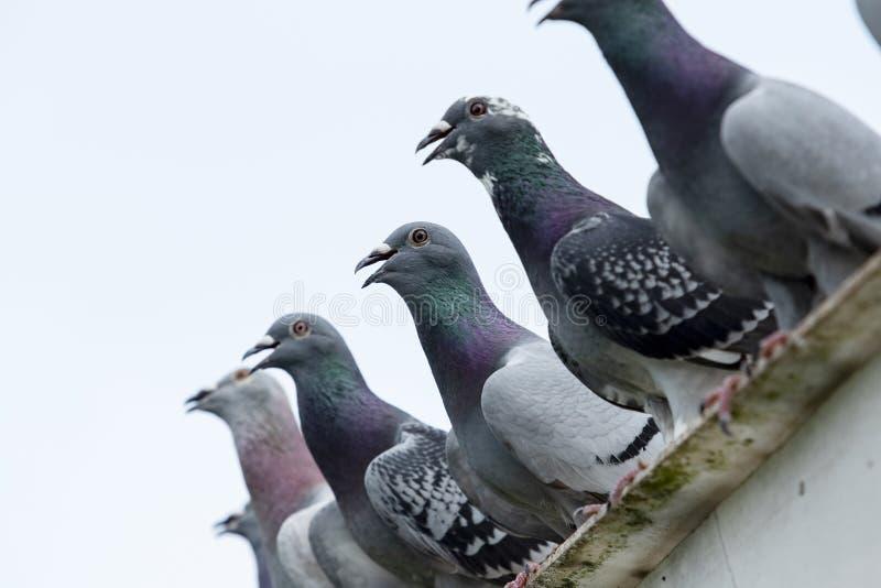 Groep de rust van de snelheidspostduif op huisdak na hard het vliegen stock afbeelding