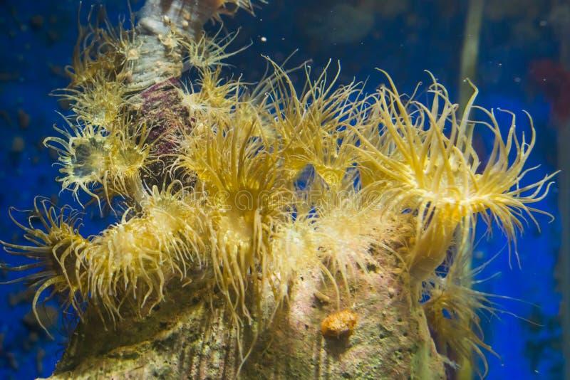 Groep de zeeanemonen van de buiswoning op een rots, populaire aquariumhuisdieren in aquicultuur stock foto
