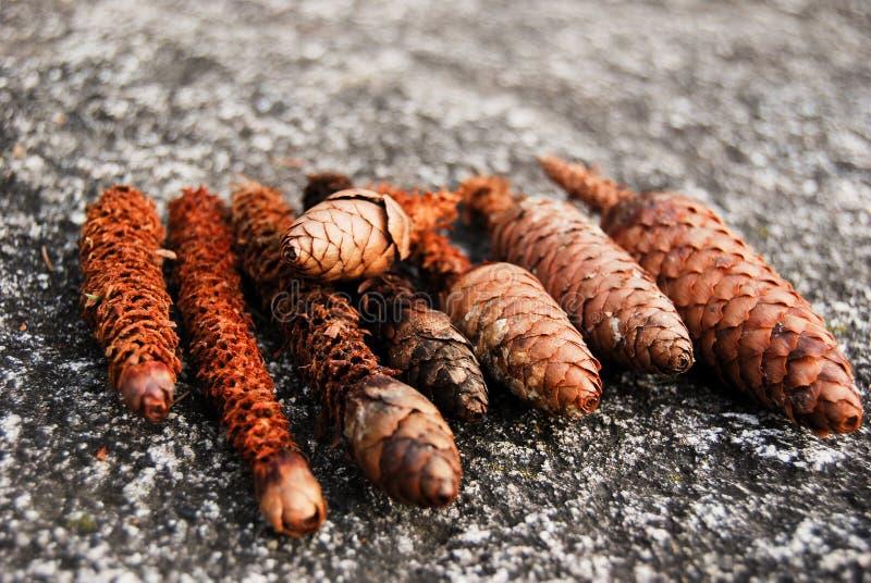 Groep denneappels door eekhoorns worden gegeten die royalty-vrije stock foto