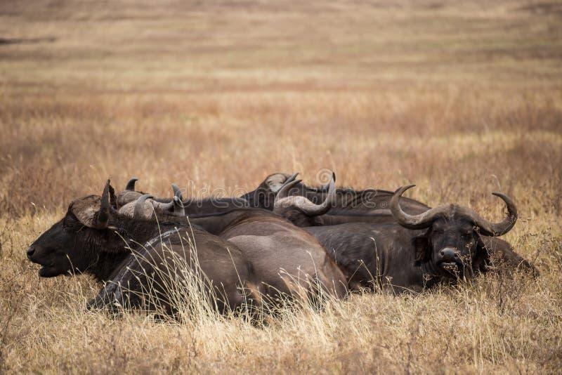 Groep die Afrikaanse buffels n rusten het gras van het nationale park van Ngorongoro (Tanzan royalty-vrije stock fotografie