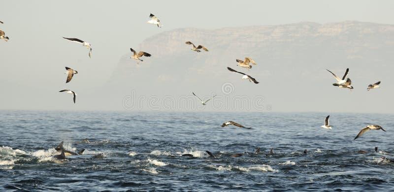 Groep die dolfijnen, in de oceaan zwemmen en voor vissen jagen De het springen dolfijnen komt omhoog uit water Long-beaked gemeen stock afbeelding