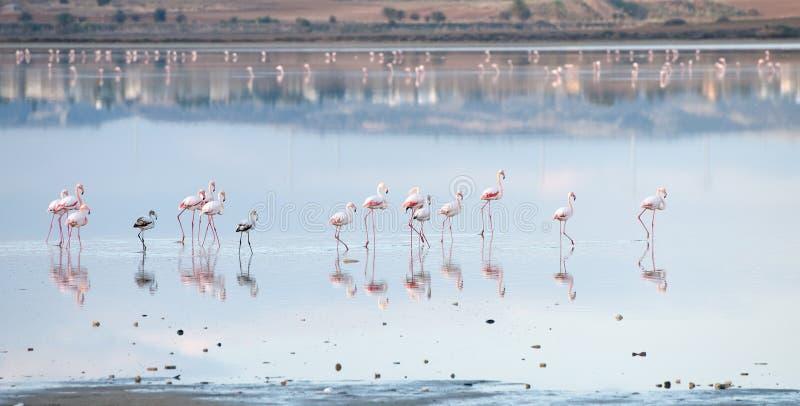Download Groep Die Flamingovogels In Een Meer Lopen Stock Afbeelding - Afbeelding bestaande uit outdoors, flamingo: 54076611