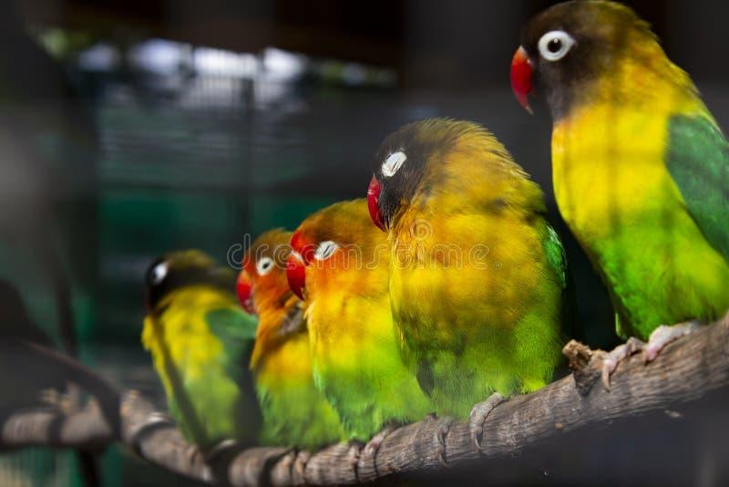 Groep die groene papegaaien op een tak zitten royalty-vrije stock foto's