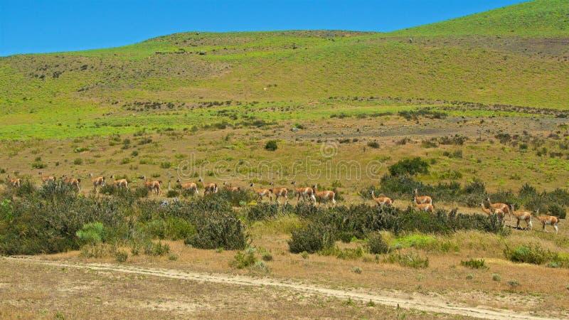 Groep die guanacos door Torres del Paine National Park in Chili reizen royalty-vrije stock foto's