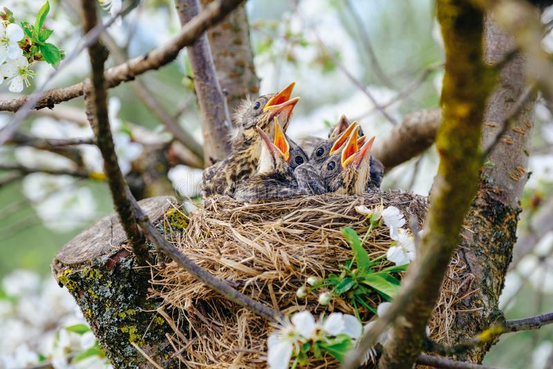 Groep die hongerige babyvogels in hun nest op bloeiende boom met monden breed open wachten zitten voor het voeden Jonge vogelssch stock afbeelding