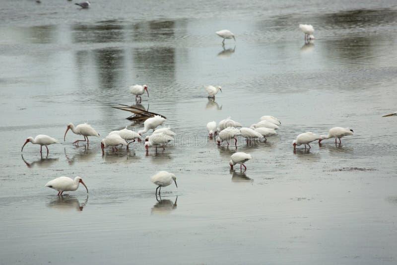 Groep die ibis at low tide in Florida waden stock foto's