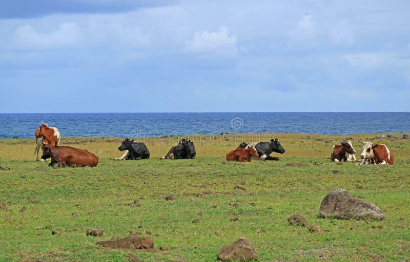 Groep die koeien bij de kust dichtbij Ahu Tongariki op Pasen-Eiland Chili ontspannen stock fotografie