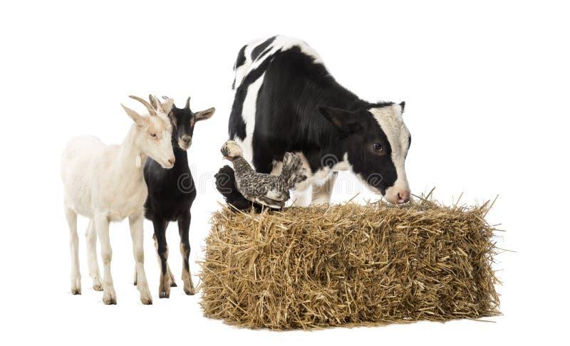 Groep die landbouwbedrijfdieren zich daarna en op een strobaal bevinden stock afbeelding