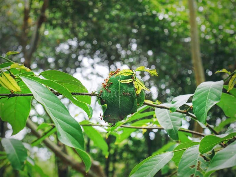 Groep die Mieren Nest met Verse Groene Bladeren bouwen op Boom stock afbeeldingen