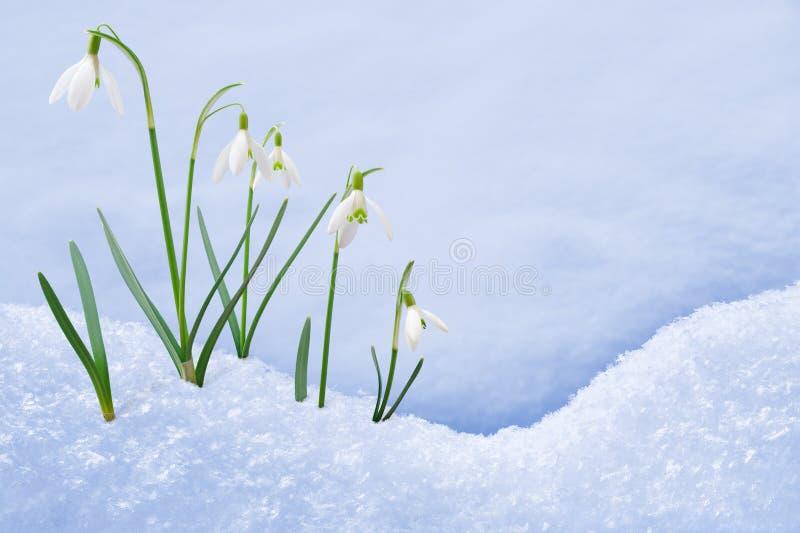 Groep die sneeuwklokjebloemen in sneeuw groeit royalty-vrije stock foto's