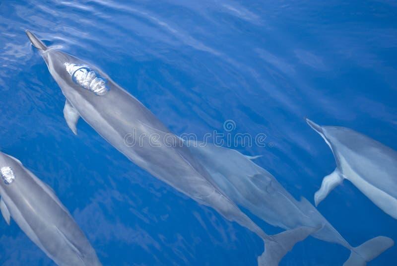 Groep dolfijnen stock foto's