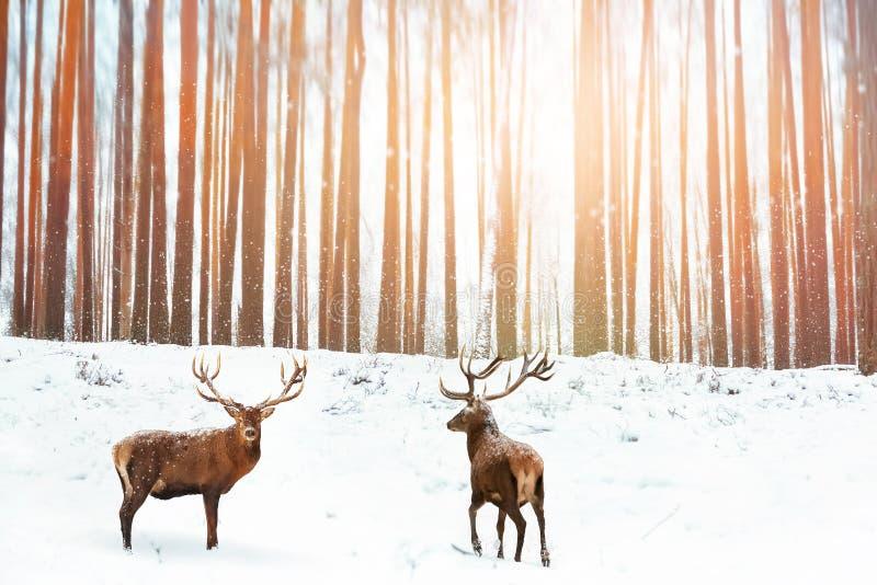 Groep Edele rode herten op de achtergrond van de winterfee het bos Sneeuwen De vakantiebeeld van de winterkerstmis royalty-vrije stock foto's
