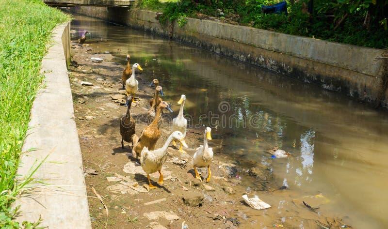 Groep eenden klaar die de rivierfoto te kruisen in dramagabogor Indonesië wordt genomen royalty-vrije stock foto