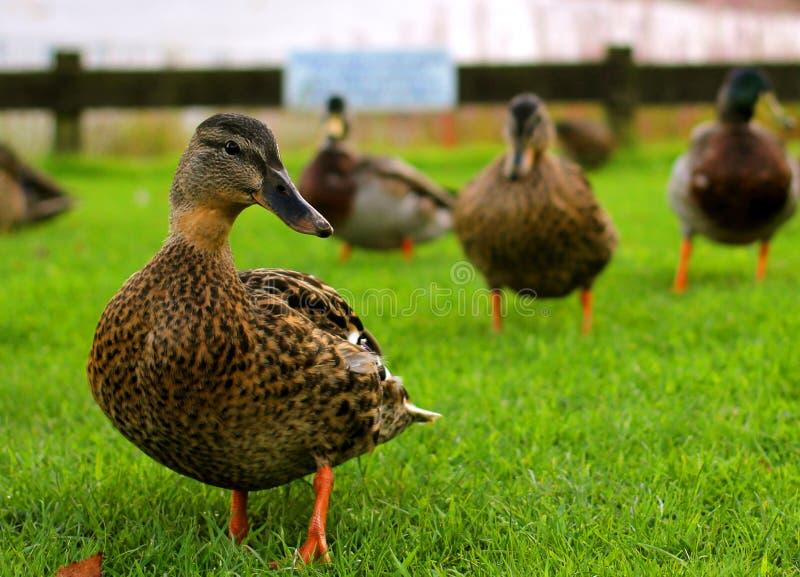 Groep eenden op het gras royalty-vrije stock foto