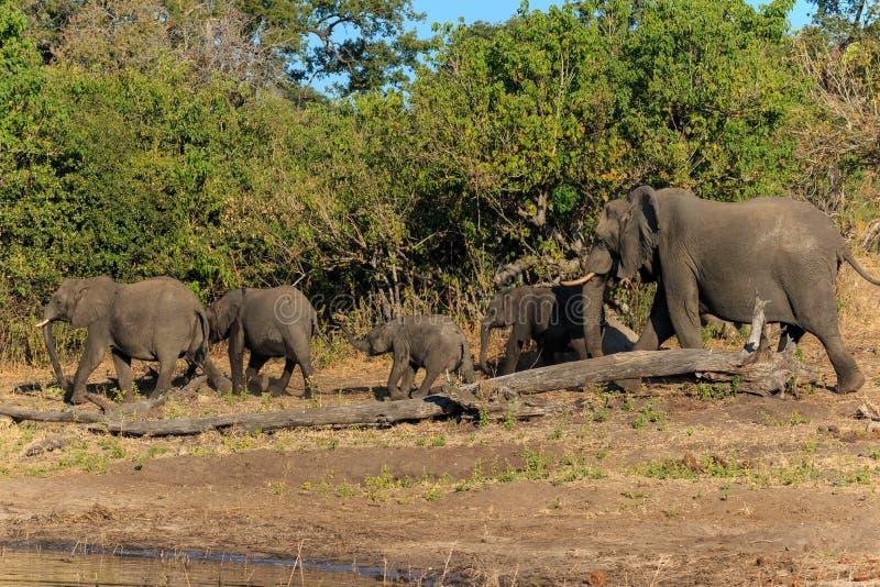 Groep en babyolifant die Chobe Botswana Afrika lopen royalty-vrije stock foto's