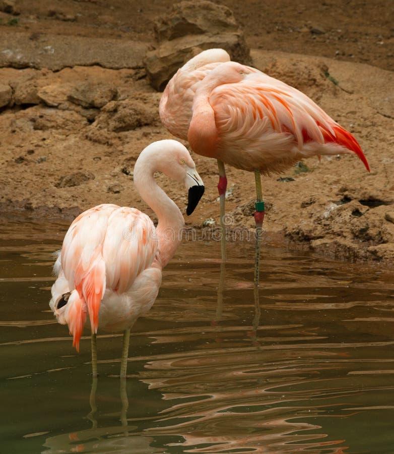 Groep Flamingo royalty-vrije stock afbeelding