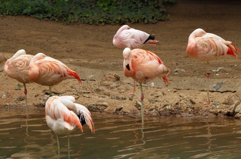 Groep Flamingo royalty-vrije stock fotografie