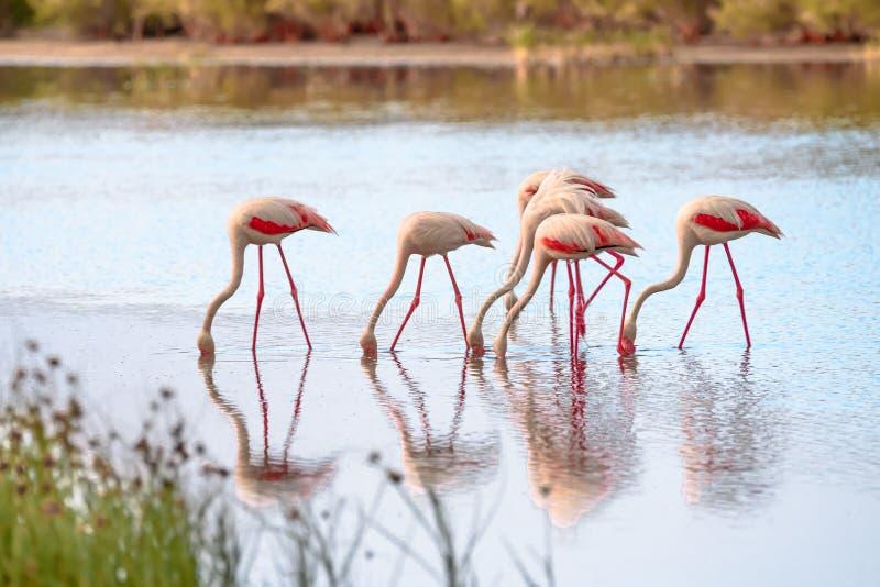 Groep flamingo's die in lagune II eten stock foto