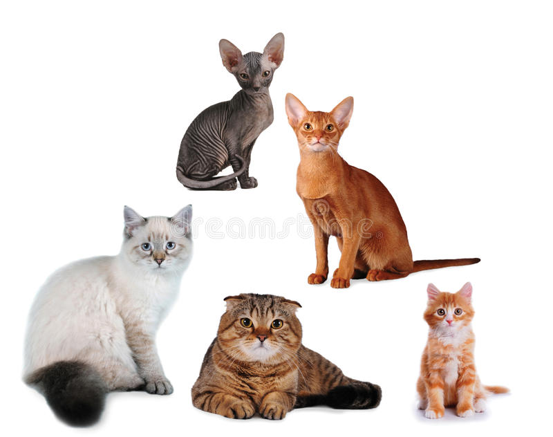 Groep geïsoleerdl katten verschillend ras royalty-vrije stock foto