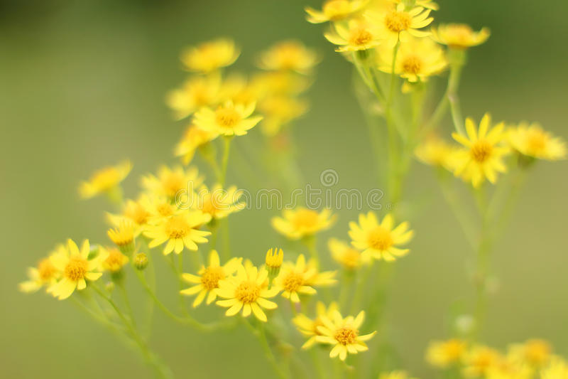 Groep gele gebiedsbloemen bij groene weide stock afbeeldingen