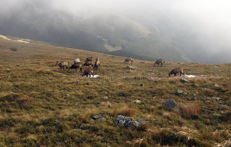 Groep gemzen met witte op de heuvel van Derese van de bergweideblaasbalg in de bergen van de herfstnizke Tatry in Slowakije royalty-vrije stock foto's