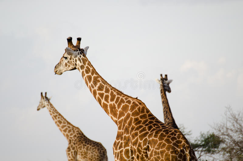 Groep giraffen royalty-vrije stock afbeeldingen