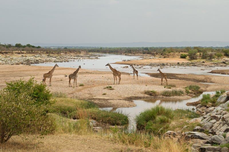 Groep giraffen door de Mara rivier, bij de grens van Kenia en Tanzania stock afbeelding