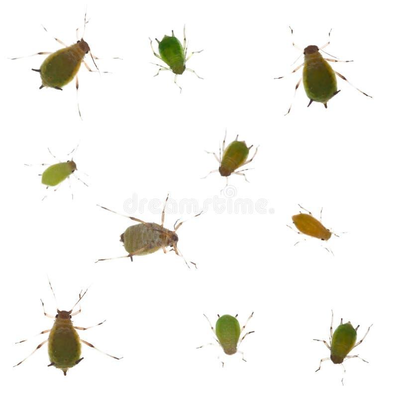 Groep groene aphids op witte achtergrond royalty-vrije stock afbeelding