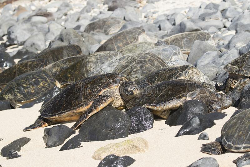 Groep groene zeeschildpadden die op strand in Maui Hawaï rusten royalty-vrije stock afbeeldingen