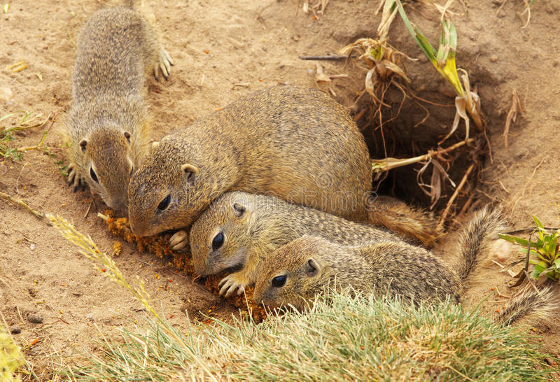 Groep het Eten van Grondeekhoorns royalty-vrije stock foto