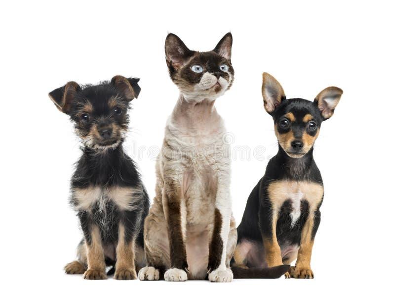 Groep honden en geïsoleerde kattenzitting, royalty-vrije stock afbeeldingen