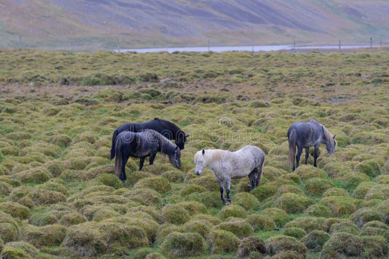 Groep Ijslandse paarden op een groen hobbelig gebied stock afbeeldingen
