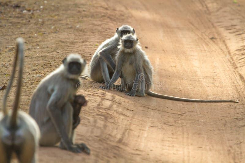 Groep Indische grijze langoors of hanuman langurs stock afbeeldingen