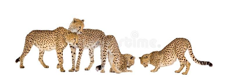 Groep Jachtluipaard royalty-vrije stock afbeelding