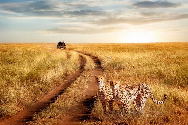 Groep jachtluipaard in het Nationale Park van Serengeti op een zonsondergangachtergrond Het wild natuurlijk beeld Afrikaanse safa stock foto