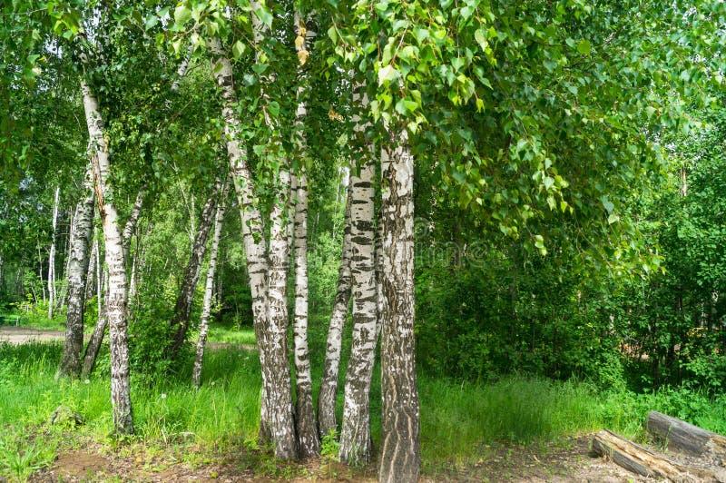 Groep jonge berken in de vroege zomer De wind ritselt jonge berkbladeren De witte berkboomstam is een Russisch nationaal symbool royalty-vrije stock afbeelding