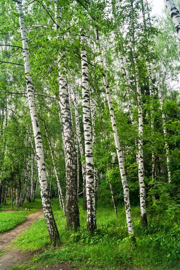 Groep jonge berken in de vroege zomer De wind ritselt jonge berkbladeren De witte berkboomstam is een Russisch nationaal symbool royalty-vrije stock afbeeldingen