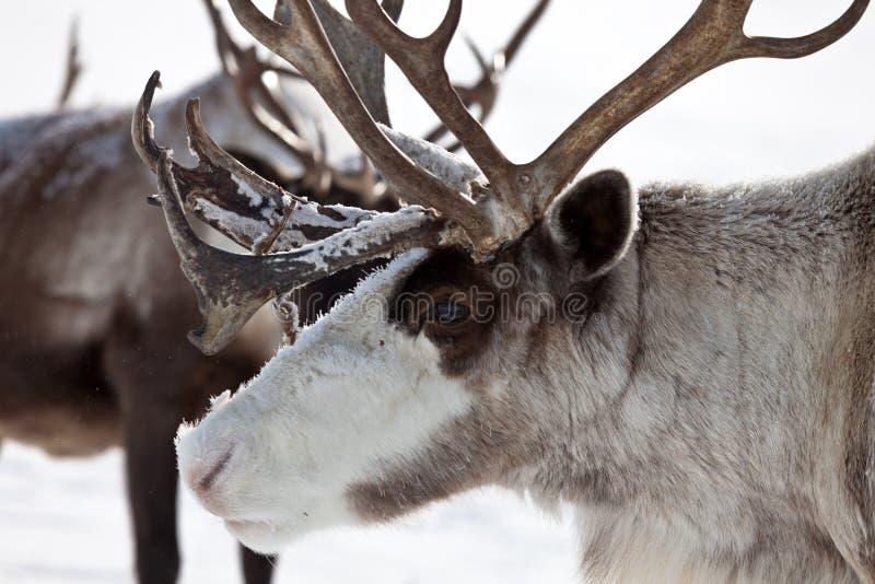 Groep kariboe royalty-vrije stock fotografie