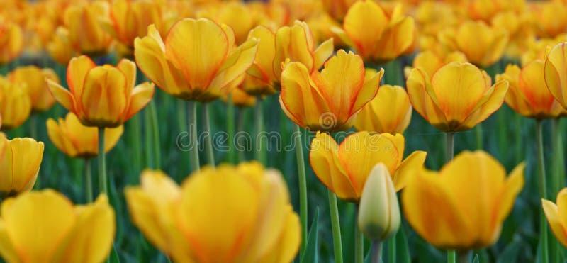 Groep kleurrijke tulp Gele die bloemtulp door zonlicht wordt aangestoken stock fotografie
