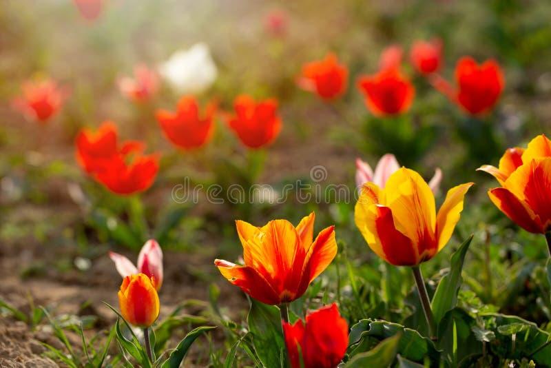 Groep kleurrijke tulp Purpere die bloemtulp door zonlicht wordt aangestoken Zachte selectieve nadruk, tulpen dichte omhooggaand,  stock foto's
