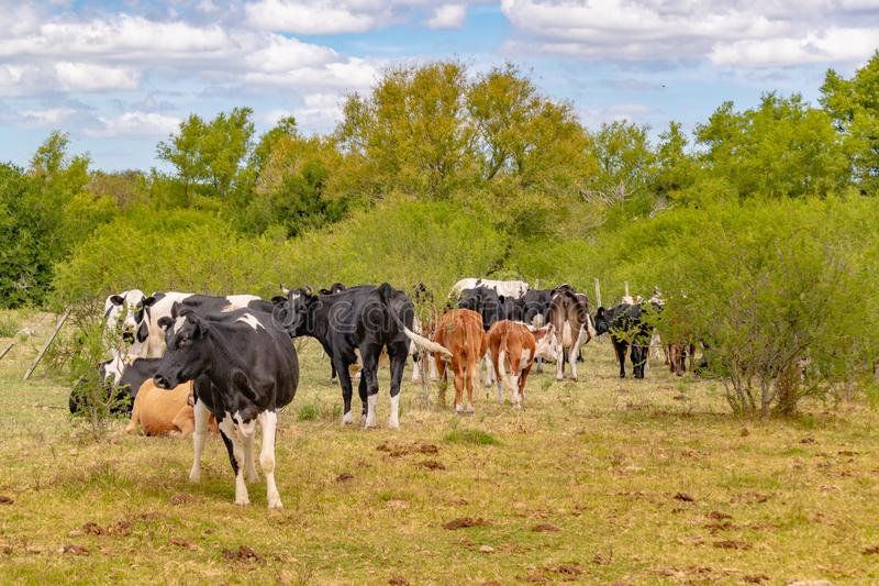 Groep Koeien bij Gebied, San Jose, Uruguay stock foto's