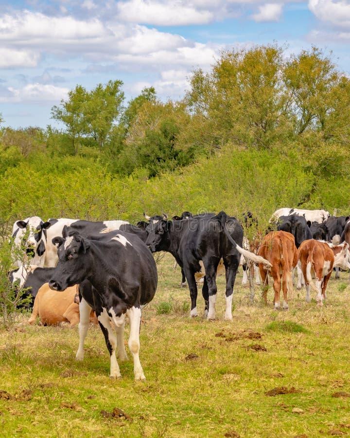 Groep Koeien bij Gebied, San Jose, Uruguay royalty-vrije stock foto